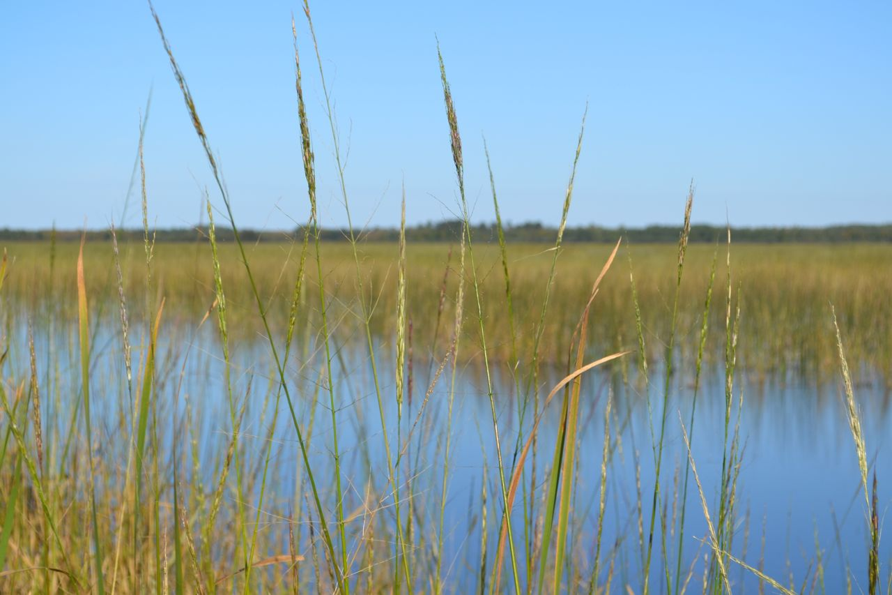 Wild rice season is almost here