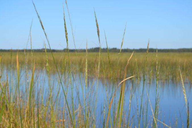 Wild Rice Beds with Open Water